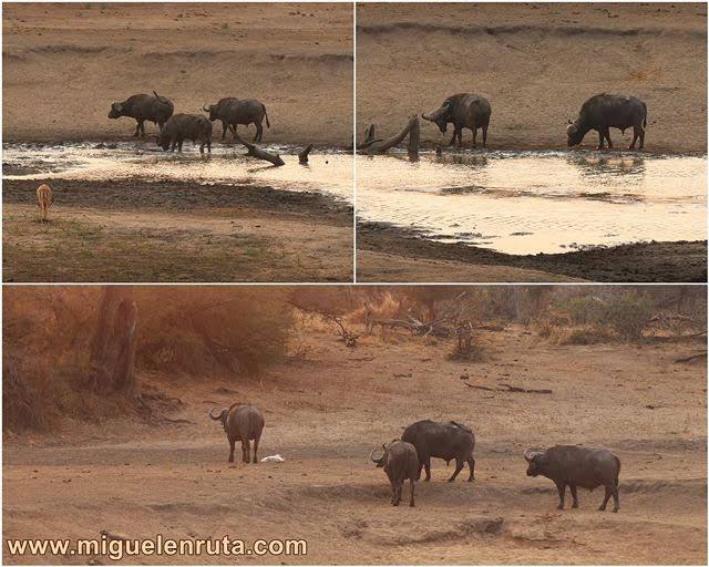 Búfalos-Nsemani-Dam-Kruger