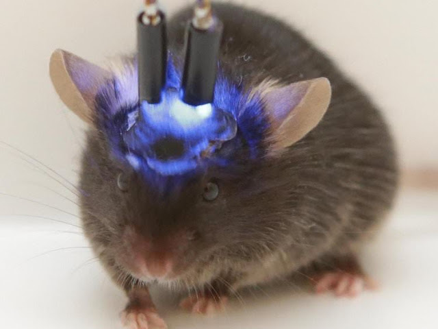 Lo ngại xuất hiện loài vật lai trí tuệ khi cấy não người mini vào chuột