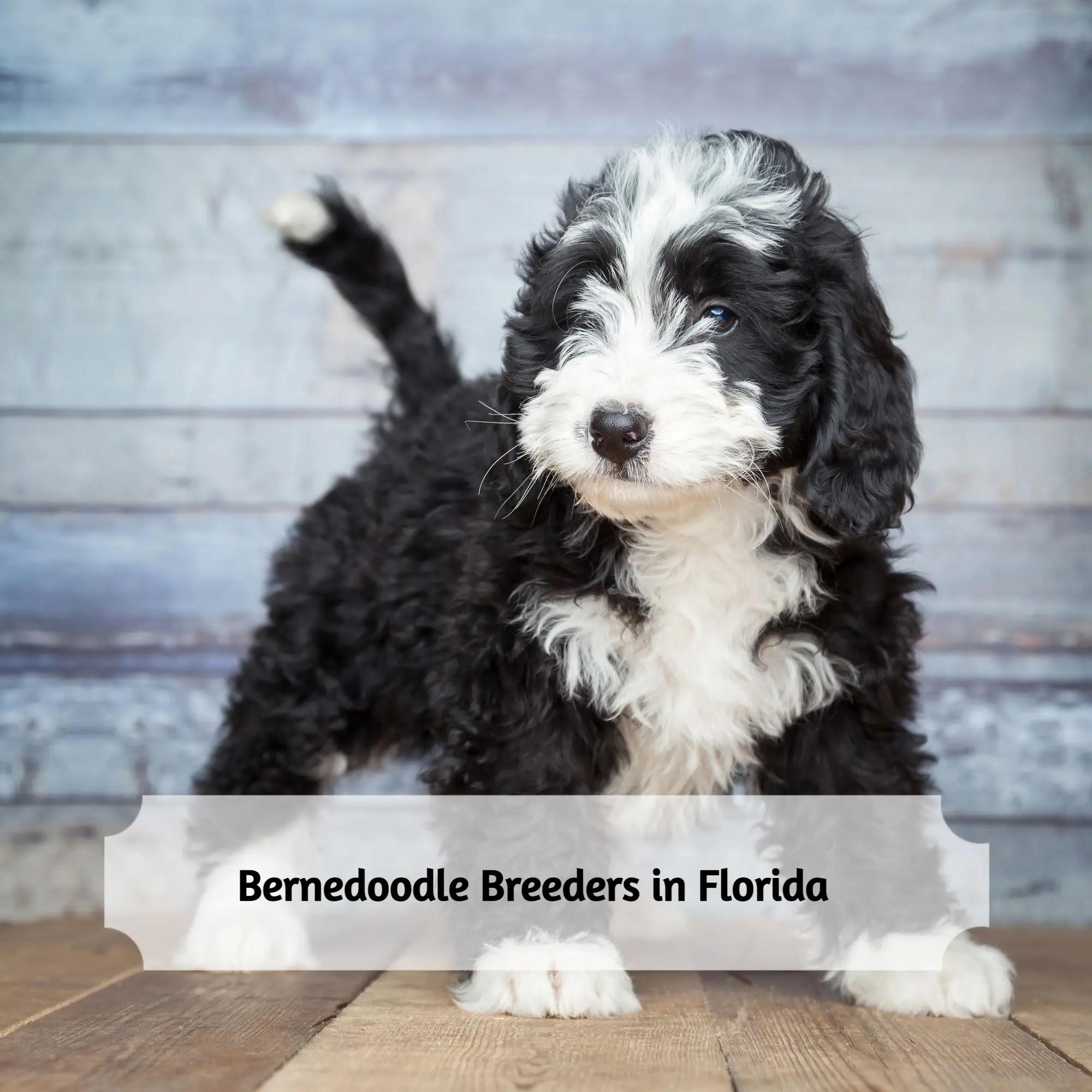 Bernedoodle-Breeders-in-florida
