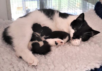 black-and-white cat with two newborn black-and-white kittens