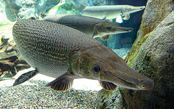 Inilah Ikan Air Tawar Paling Berbahaya Yang Perlu Kamu Ketahui