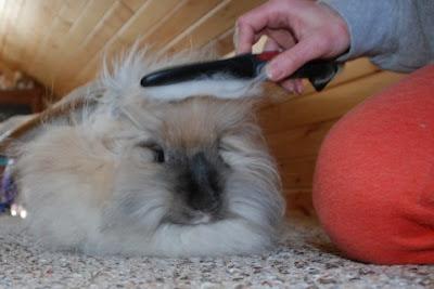 menyisir bulu kelinci yang panjang