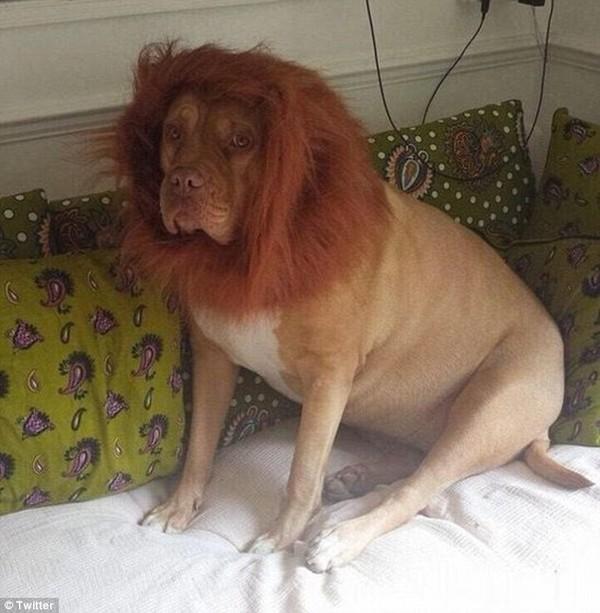 Lạ: Bê đáng yêu với vết bớt hình số 7 trên mặt, chó bỗng hóa sư tử