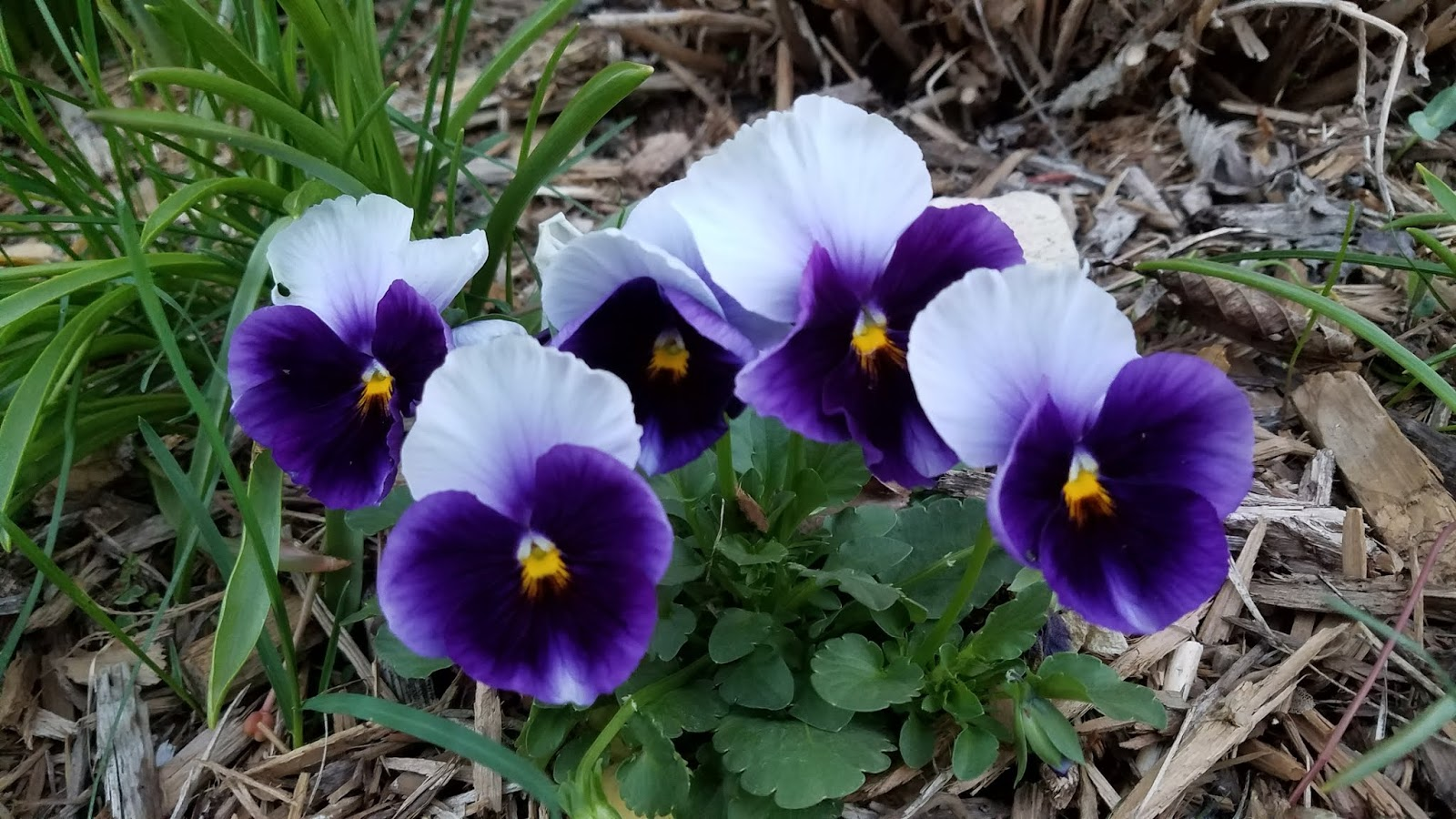 Can Pansies Survive The Summer