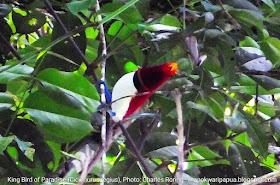 Burung Surga Raja di hutan hujan tropis Manokwari.