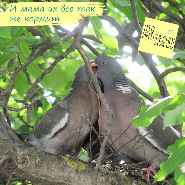 гнездо витютеней