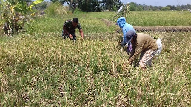 Babinsa Koramil 23/Ceper Tetap Semangat Mendampingi Petani Panen Padi