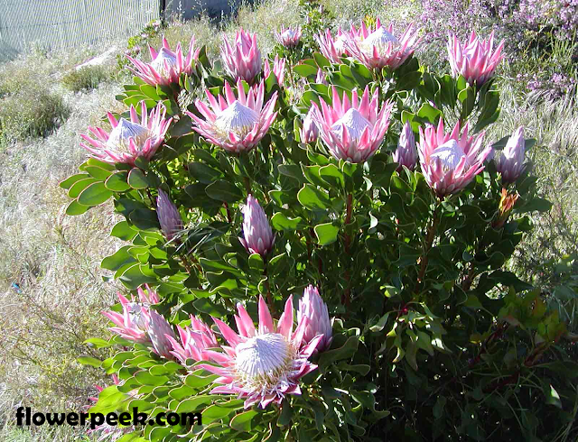 Growing and caring for Protea plants