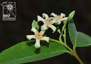 ดอกโมกมัน Wrightia arborea