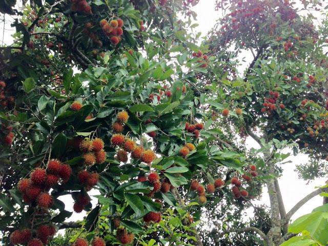 buah rambutan berjuntaian di pohon yang tidak terlalu tinggi