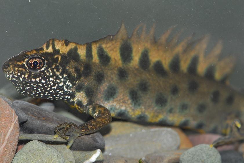Amphibians: Italian Crested Newt - Triturus carnifex
