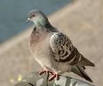 Un pigeon  حمامة