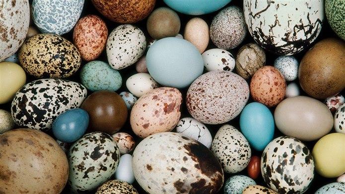 kertenkele yumurta yer