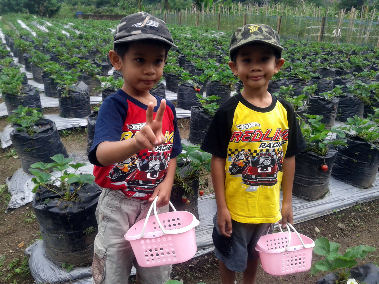 Memetik langsung strawberry di kebun wisata Tanah Karo