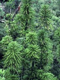 Pohon+Pinus+Wollemi - 10 Pohon Terunik di Dunia