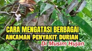 Cara Mengatasi Berbagai Hama dan Penyakit Pada Pohon Durian