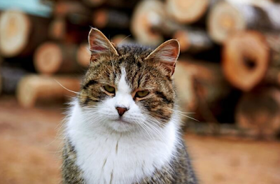 Jenis Ras Kucing Russian Tabby