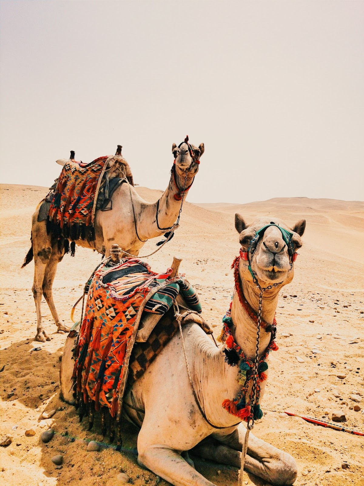 Two camel rest after a long journey in the desert.