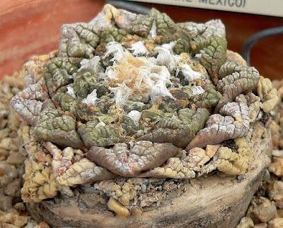 Ariocarpus ( Kaktus Raja ) - munsyafandi.com