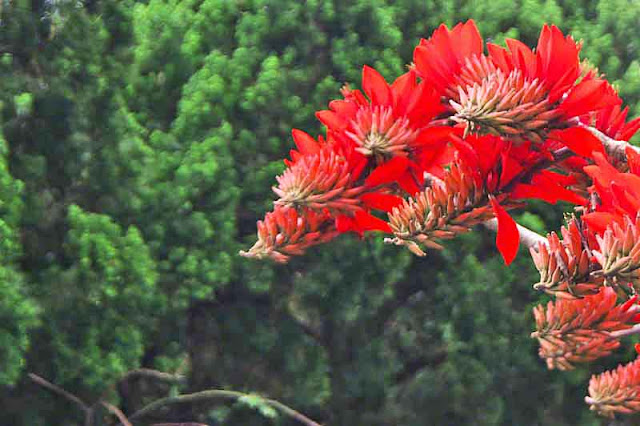 Deigo in bloom, Erythrina orientalis, flowers
