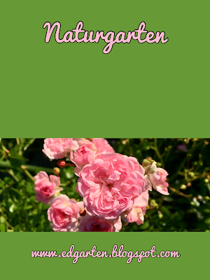 Pin Fairy Rose blühend