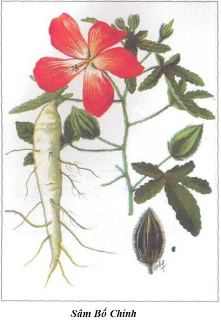 SÂM BỐ CHÍNH - Hibiscus sagittifolius - Nguyên liệu làm Thuốc Bổ, Thuốc Bồi Dưỡng