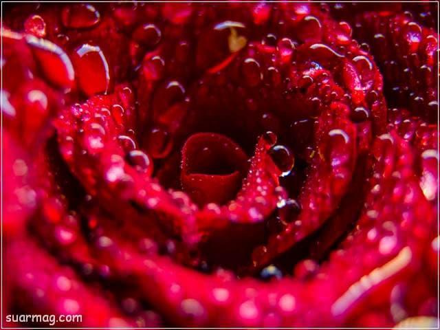 ورد احمر طبيعي 5 | Natural red roses 5