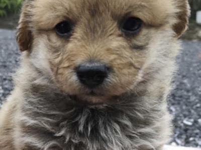 Corgi Poodle mix (Corgipoo) Temperament, Size, Adoption, Lifespan