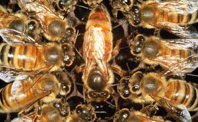 Η Βασίλισσα του μελισσιού και του μελισσοκόμου!!!
