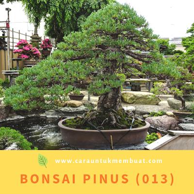 Bonsai Pinus (013)