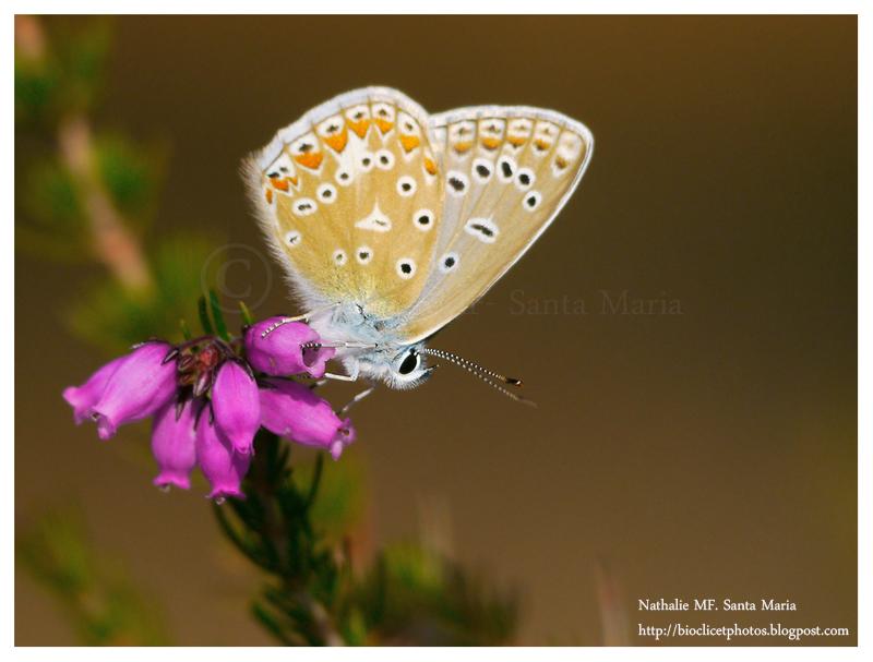 http://bioclicetphotos.blogspot.se/search/label/Argus%20bleu%20c%C3%A9leste%20-%20Polyommatus%20bellargus