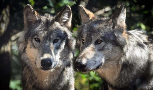 Healed injuries suggest social behaviour in ancestral wolves