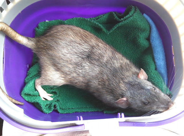 Wyatt the therapy rat in training after being neutered