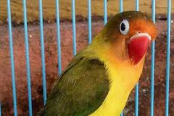 Cara Mengeluarkan Sifat Fighter Lovebird Jantan Dengan Perawatan Khusus
