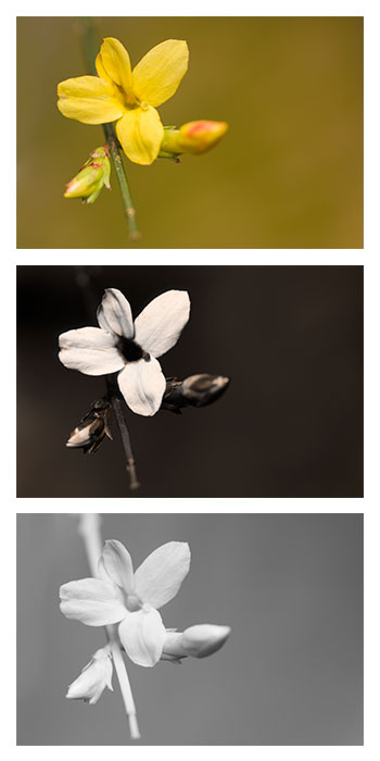 Comparison of a Winter jasmine (Jasminum nudiflorum) flower photographed in Visible light (top), ultraviolet light (middle), and infrared light (bottom). The flower is growing near the end of the stem, with two flower buds yet to open below it.