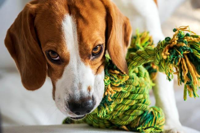 Co zrobić, gdy pies wszytko gryzie?
