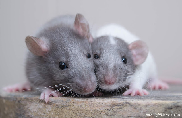 Xavier and Vincent. Therapy Rats in Training