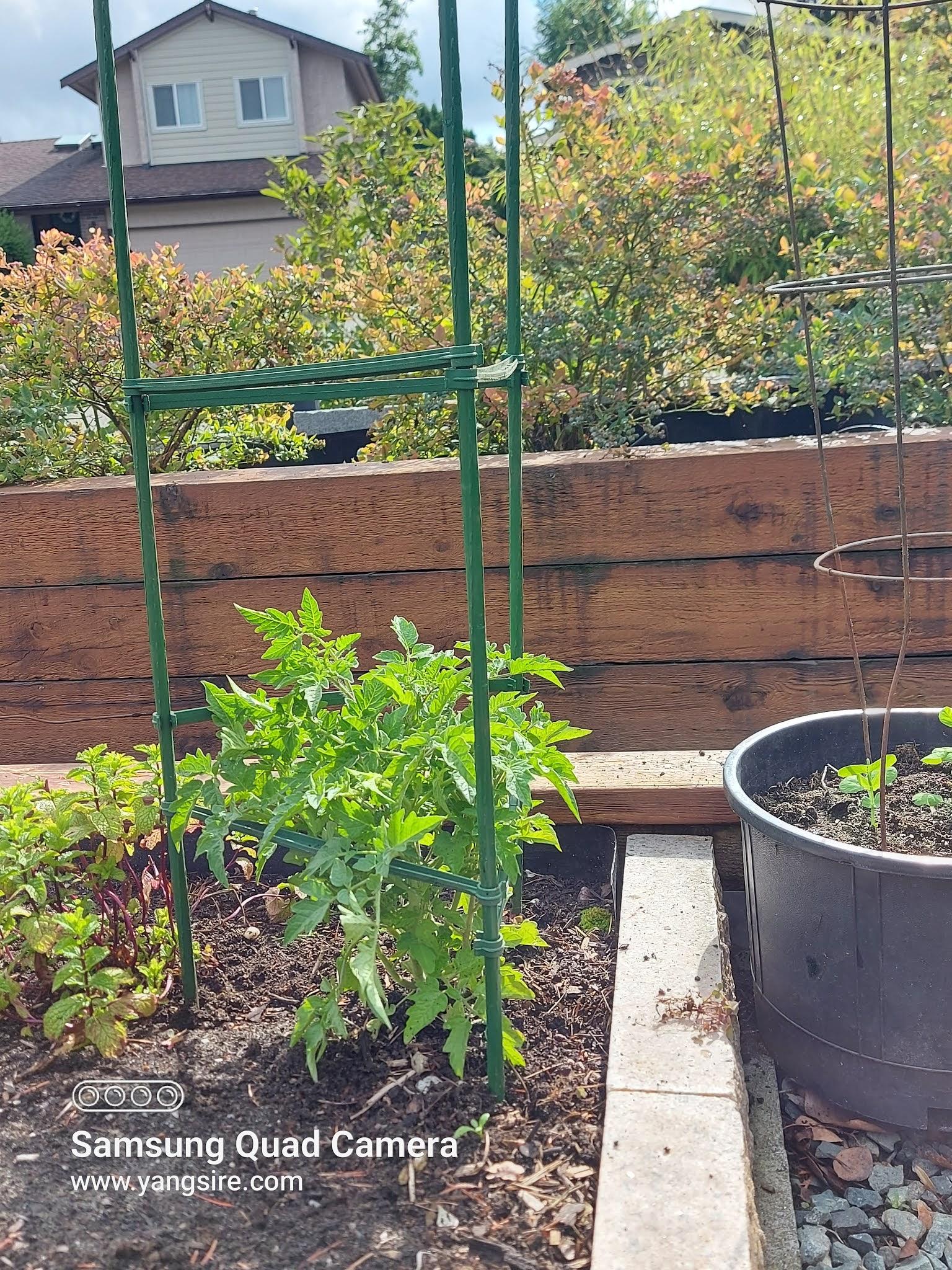 Tomatoes in my garden
