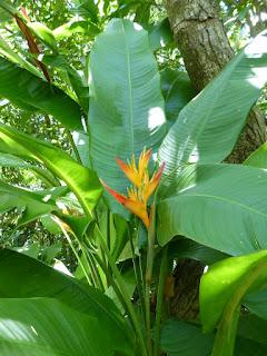 Heliconia de la Réunion
