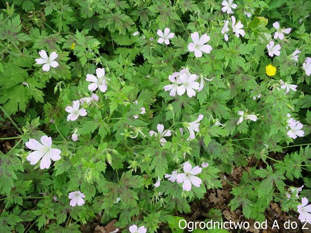 Geranium x oxonianum 'Katherine Adele'