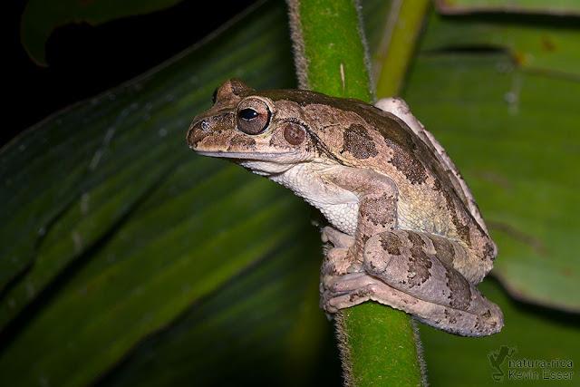 Smilisca manisorum - Mexican Tree Frog