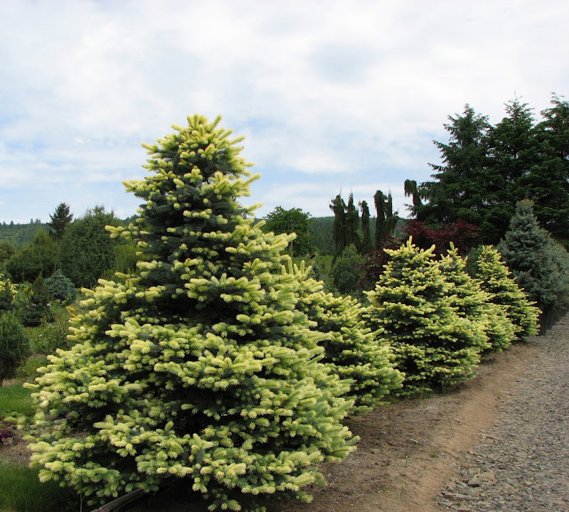 first conifers - photo #8