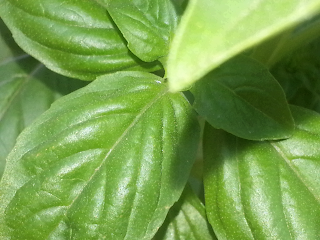 freeze basil