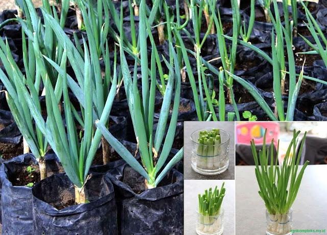 Daun Bawang adalah salah satu jenis tanaman sayuran dari kelompok tanaman bawang dengan na Cara Budidaya Tanaman Daun Bawang Di Rumah