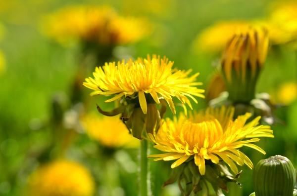 7 Bunga yang Dapat Kamu Makan