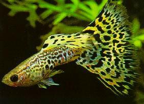 Ikan Guppy cobra