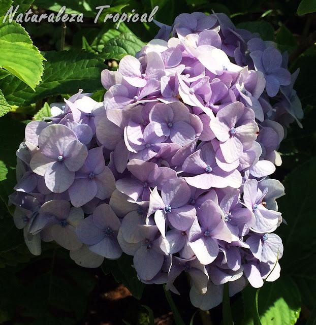 Otra imagen de una inflorescencia de una Hortensia, género Hydrangea