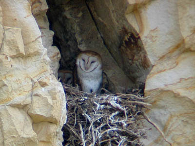 Photo of Barn Owls in a cliff nest