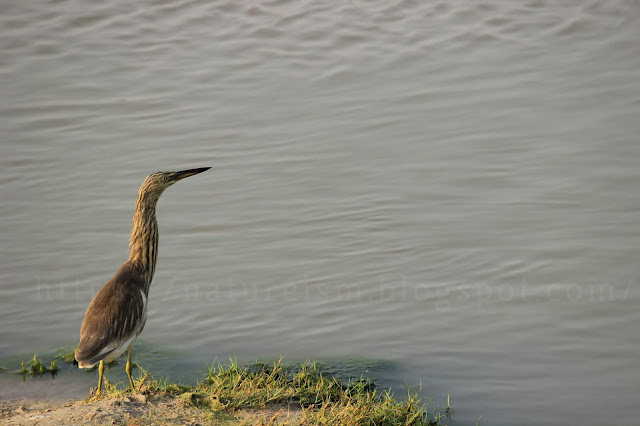 Lone Pond Heron getting ready for hunt