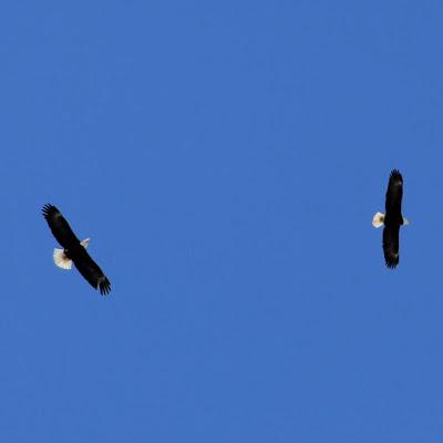 bald eagle mating flight?